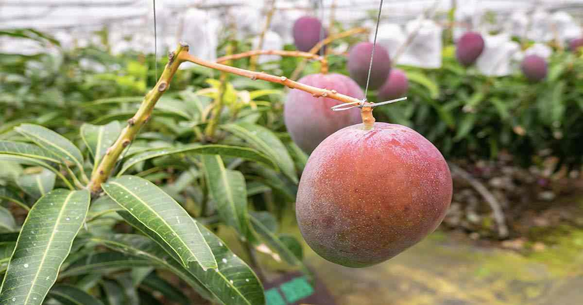 costly mangoes