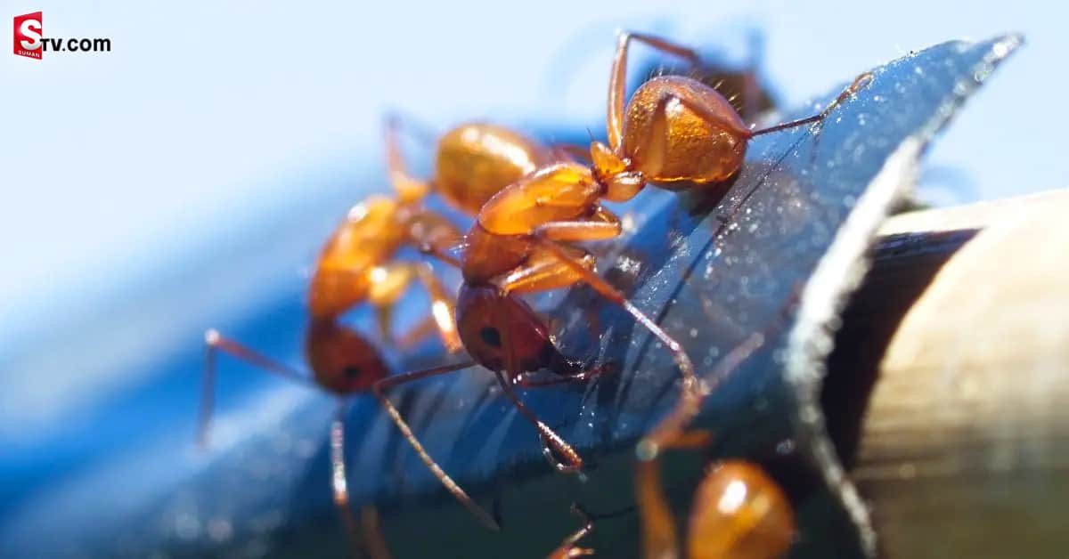 Ants on the Delhi-London flight - Suman TV