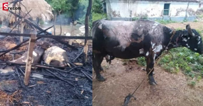 Cattle burning alive - Suman TV