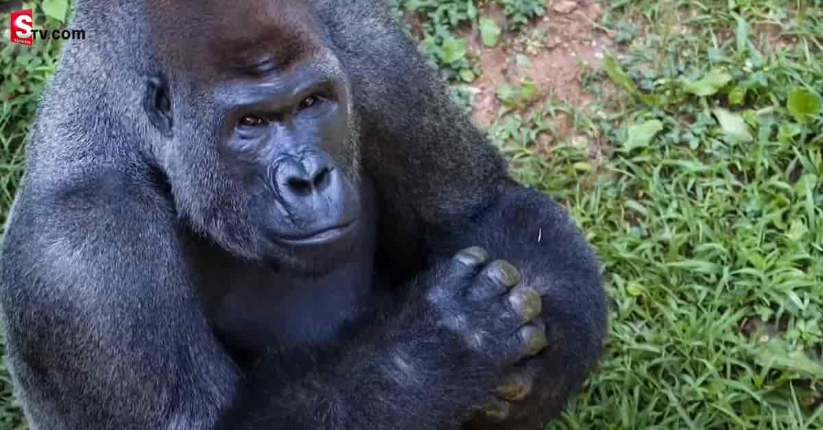 Corona-infected 13 Gorillas - Suman TV