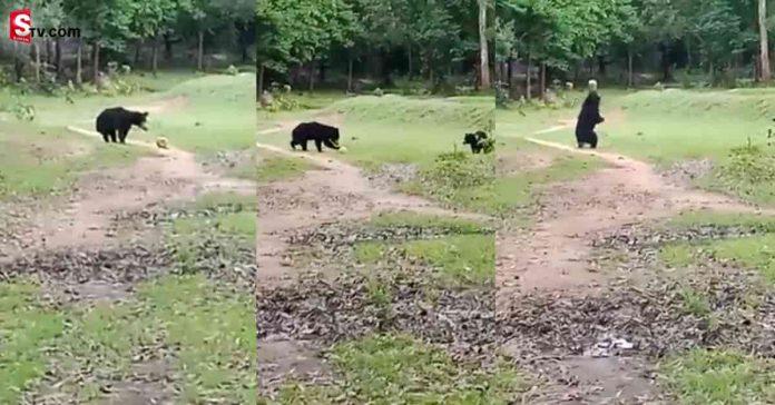 Two wild bears were seen playing football Video Viral - Suman TV