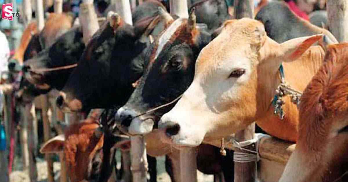 cow rape